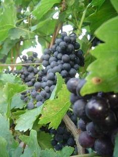 Weinrebe in Ungarn